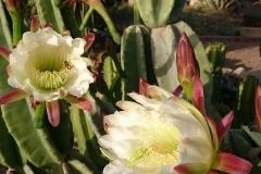 San-Pedro-Kaktus-764x430